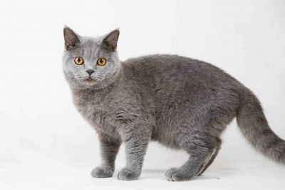 British shorthair cat on white background. Pets in the studio